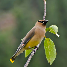 Cedar Waxwing by Marie Browning - Animals Birds ( bird, colors, branch, yellow, leaves,  )