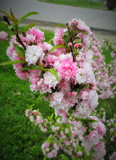Pink flowering almond bush the gardeners shed post by plantdoctor on mar 30 2017 at 237pm mightylinksfo Images