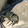 Marbled crab