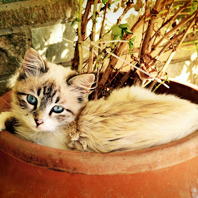 Basil Bush Rest by Daniela Elena - Animals - Cats Portraits