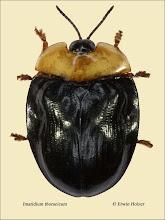 Photo: Imatidium thoracicum, 5,2mm, Costa Rica , La Cruz (11°07´/-83°36´), leg. Erwin Holzer, det. Lech Borowiec