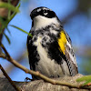 Yellow-rumped Warbler (Adult Male)