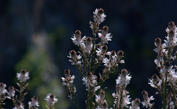 Photo: Asphodelus aestivus (ramosus L). (liliaceae), Common Asphodel