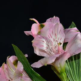 veri nice spring flower by LADOCKi Elvira - Flowers Single Flower ( floral, nature, plants, garden, flower )