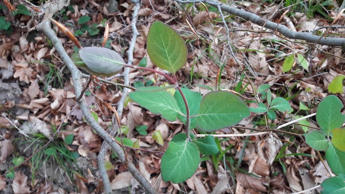 Perfoliate Honeysuckle