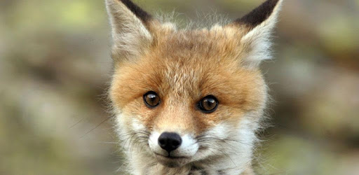 cute fox wallpaper app (apk) free download for Android/PC/Windows screenshot
