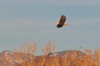 Photo: Bald eagle; Bosque del Apache
