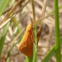Orange Holomelina