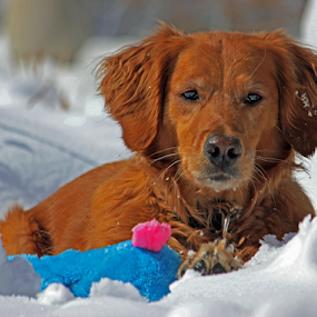 Sweet Maggie by Kari Schoen - Animals - Dogs Portraits ( playing, canine, snow, dog portrait, playing in snow, dog, golden retriever )