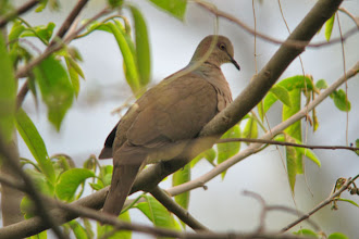 Photo: Gray-fronted Dove