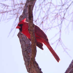 the majestic cardinal by Margarita Rose - Animals Birds (  )