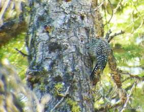 Photo: Fledgling Williamson's Sapsucker, Skyliners Drive, west of Bend, OR