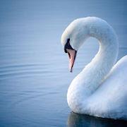 К чему снятся лебеди на воде?