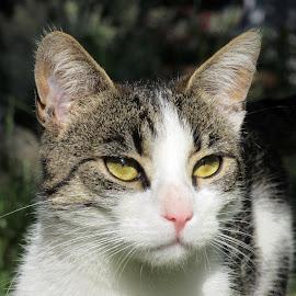 Gricko by Vesna Martinjak - Animals - Cats Kittens ( love, green, cat, animal, eyes,  )