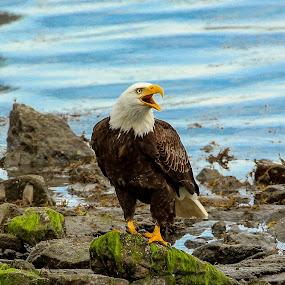 Eagle by Janez Žalig - Animals Birds ( obala, na plaži, guard, infused, lunch, on the beach, preža, kosilo, coast, straža )