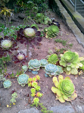 Photo: Succulents in the Hidden Garden Steps gardens-in-progress at the foot of the site (16th Avenue, between Kirkham and Lawton streets in San Francisco's Inner Sunset District); this area, completely transforming what had been a weed- and graffiti-strewn area, is part of the gardens-in-progress built largely with donations from neighbors and other supporters. For more information about this volunteer-driven community-based project supported by the San Francisco Parks Alliance, the San Francisco Department of Public Works Street Parks Program, and hundreds of individual donors, please visit our website at http://hiddengardensteps.org.