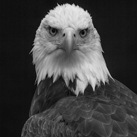 Eagle eyes by Garry Chisholm - Black & White Animals ( raptor, bird of prey, nature, bald eagle, garry chisholm )