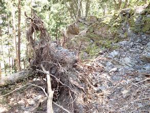 岩から剥がれた倒木