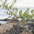 Birds (Aves) of Utila, Bay Islands, Honduras