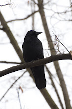 Photo: Carrion Crow (Rabenkrähe); Dresden, DE