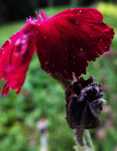 Photo: Rød blomst, Lyngsøvej, Silkeborg