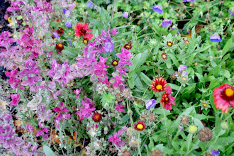 Photo: Clary Sage and Blanket flower go well together. Combining plants to create vignettes ensure there's always something to look at in the garden.