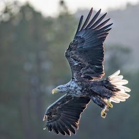 White tailed eagle by Kjetil Salomonsen - Animals Birds
