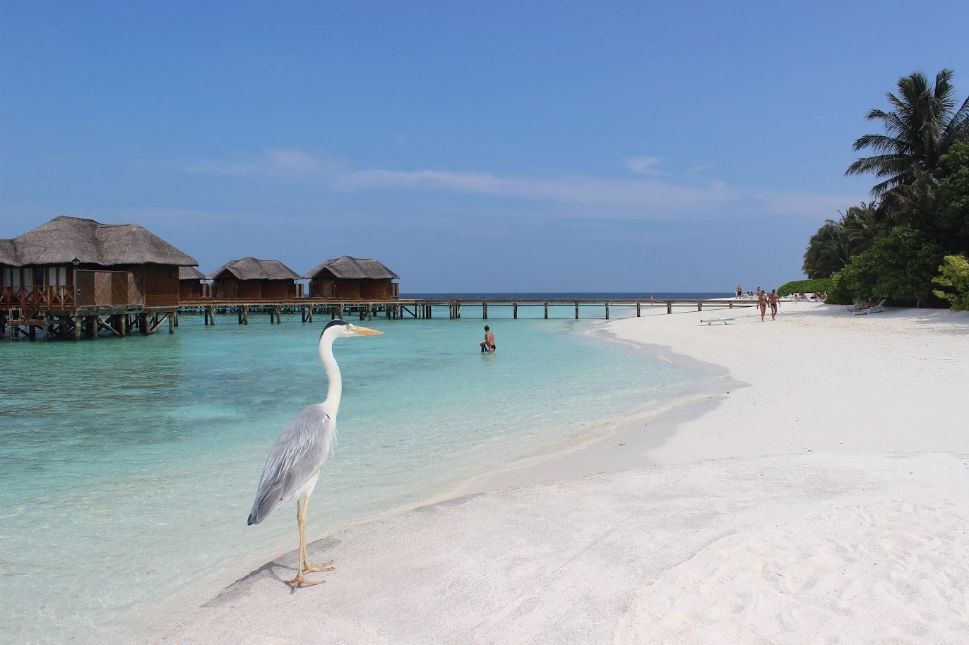 Дешевые Мальдивы. Остров Fihalhohi Island Resort и цапля на фоне домиков