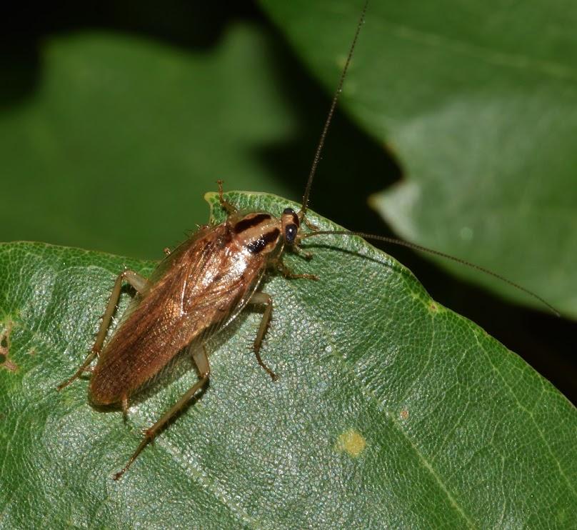 Poznaj 3 domowe sposoby na pozbycie się karaluchów