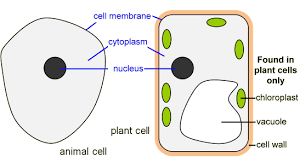 Image result for simple plant cell