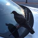 Domestic Rock Pigeon