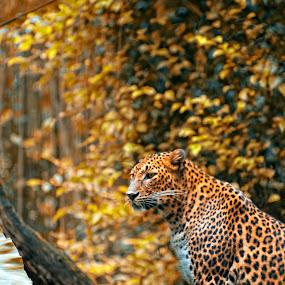 by Bobo Adi - Animals Lions, Tigers & Big Cats