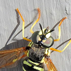 Straight-banded wasp hoverfly
