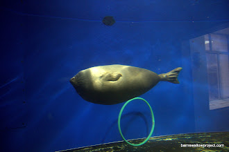 Photo: zeppelin: An example of the world's only species of Freshwater seal, the nyerpa