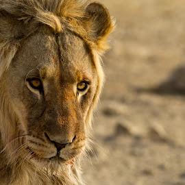 Future king by Miranda Keller - Animals Lions, Tigers & Big Cats