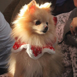 by Lena Arkell - Animals - Dogs Portraits ( pomeranian, fluffy, costume, christmas, dog, pom,  )