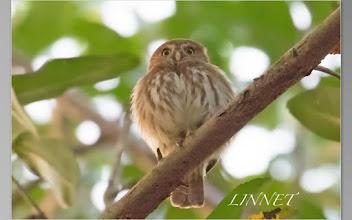 Photo: アカスズメフクロウ (Ferruginous Pygmy-Owl)