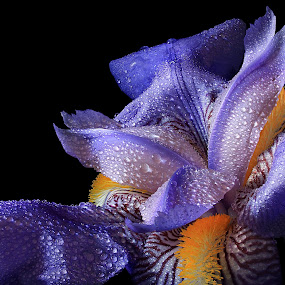 Iris by Besnik Hamiti - Flowers Single Flower ( natural light, purple, blue, iris, yellow, light, spring, flower, droplets )