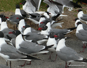 Photo: Laughing Gulls, upper Texas Coast