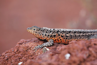 Photo: Lava lizard.