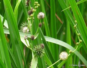 Photo: Giant bur-reed (Sparganium eurycarpum)