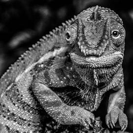 Chameleon by Garry Chisholm - Black & White Animals ( chameleon, macro.nature, reptile, lizard, garry chisholm )