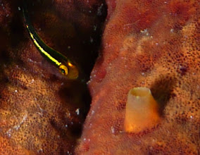 Photo: Sitting on a rope sponge, this goby is only half an inch long