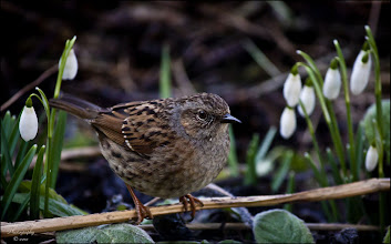 Photo: Bird N°2 - Dunnock - Prunella modularis A small brown and grey bird. Quiet and unobtrusive, it is often seen on its own, creeping along the edge of a flower bed or near to a bush, moving with a rather nervous, shuffling gait, often flicking its wings as it goes. When two rival males come together they become animated with lots of wing-flicking and loud calling. Inhabits any well vegetated areas with scrub, brambles and hedges. Look in deciduous woodland, farmland edges, parks and gardens. Keeps largely on the ground and often close to cover.  Info from: http://www.rspb.org.uk/wildlife/birdguide/name/d/dunnock/index.aspx  #nature #52birds #birds #snowdrops #photography  #bird2