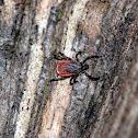 Blacklegged Tick (Female)