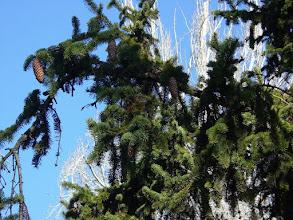Photo: Hojas y conos de Picea Abies (parque del Oeste, Madrid)