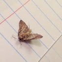 Bent-winged Owlet Moth