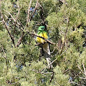 Red Rumped Parrot - female