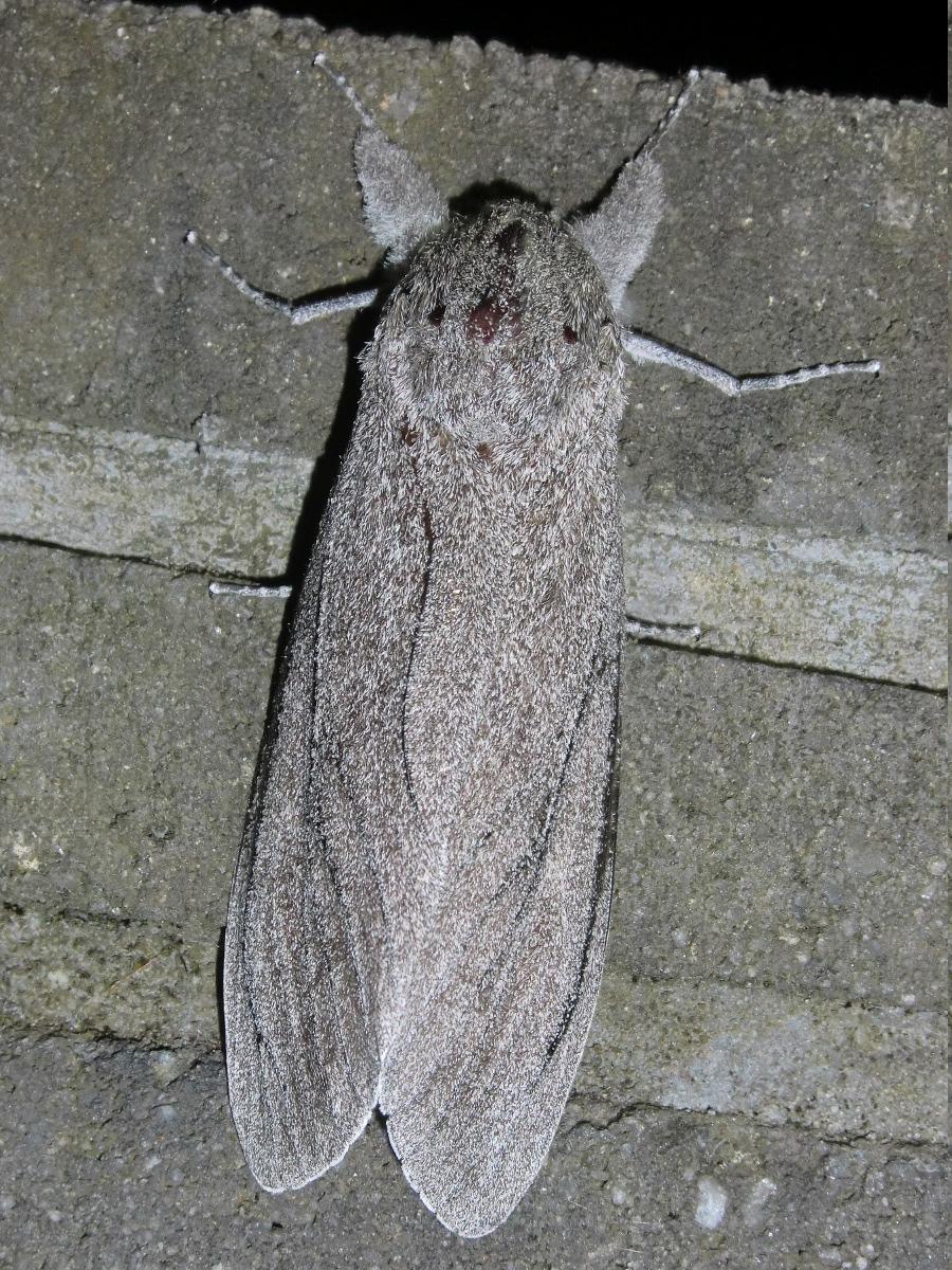 Giant wood moth (♀)