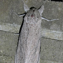 Giant wood moth (♀)
